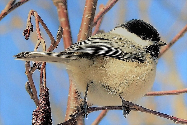 Tracy Bell - Chickadee 6