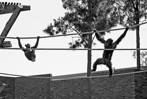 Miroslava Jurcik - Chimps In Black And White
