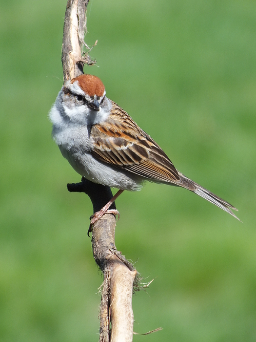 Cindy Treger - Posing Chipping Sparrow