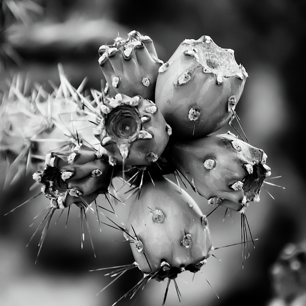 Cholla Fruit S49 Photograph