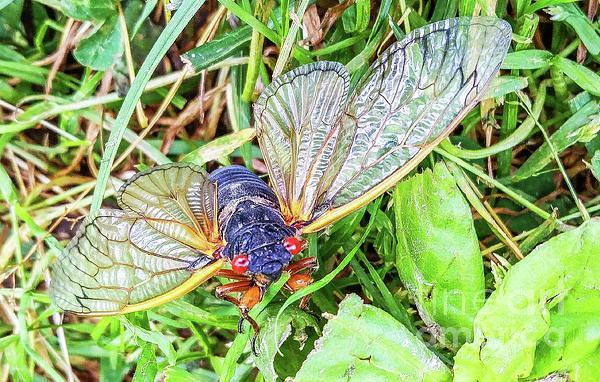 Barbara Molocznik - Cicada with Open Wings