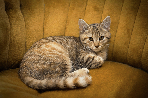 Amy Jackson - Cinnamon Tabby Kitten