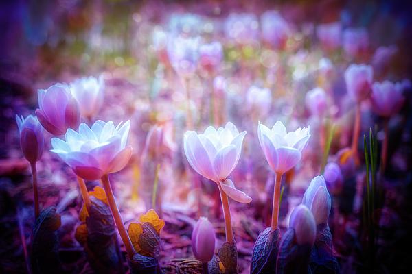 Lilia D - close up Spring flowers