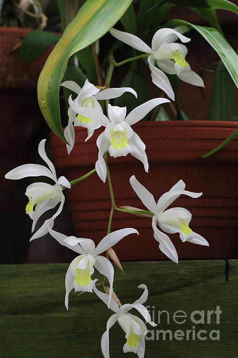 Judy Whitton - Coelogyne Mossiae Orchids