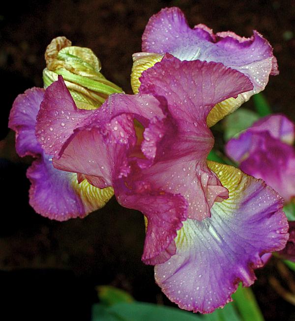 Kami McKeon - Colorful Iris