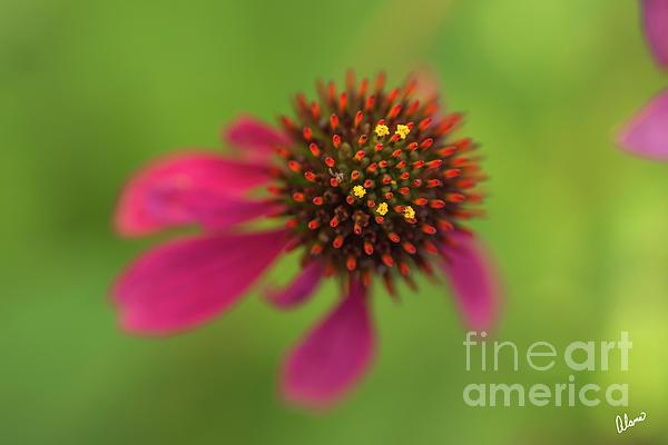 Alana Ranney - Cone Flower