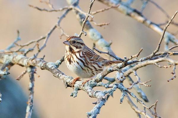 Karen Silvestri - Confident Sparrow
