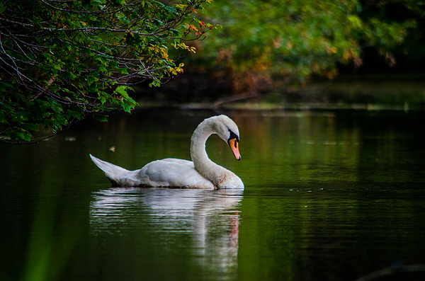 Linda  Howes - Contemplating Swan