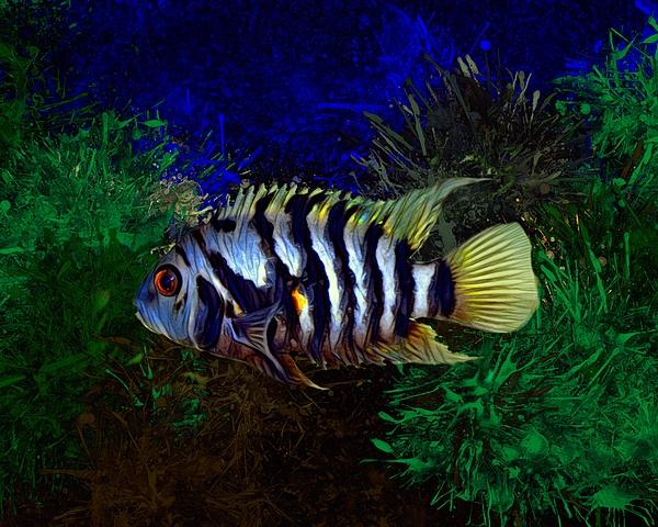 Scott Wallace - Convict Cichlid Fish