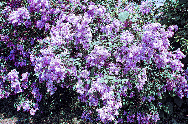 Aimee L Maher Photography and Art Visit ALMGallerydotcom - Cool Sunset Lilac Bushes