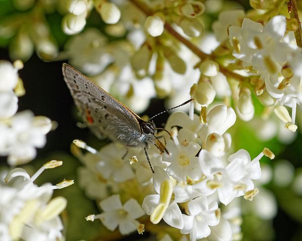 Darin Volpe - Copper Blades -- Gorgon Copper Butterfly in Templeton, California