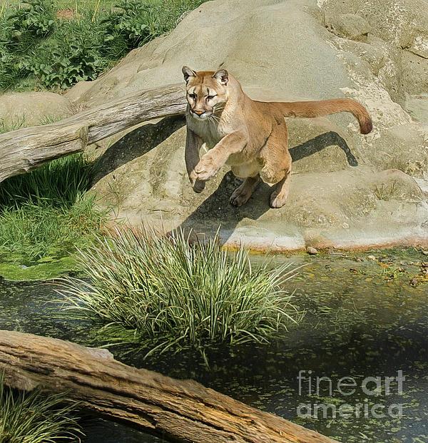 Brian Tarr - Cougar jumping across a stream