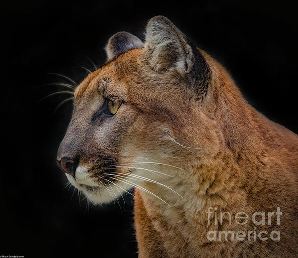 Mitch Shindelbower - Cougar Profile