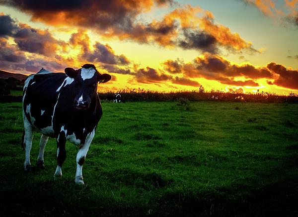 Joe Rey - Cow and fire sky