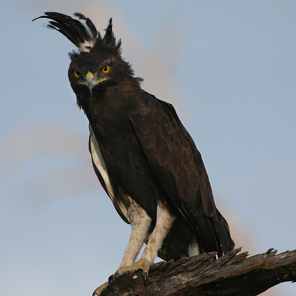 Joseph G Holland - Crested Eagle Kenya