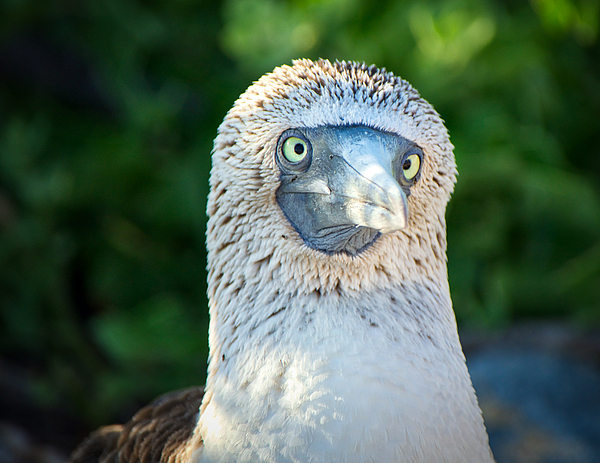 Jane Selverstone - Cross-Eyed Booby