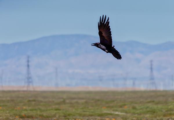 Gene Parks - Crow In Flight