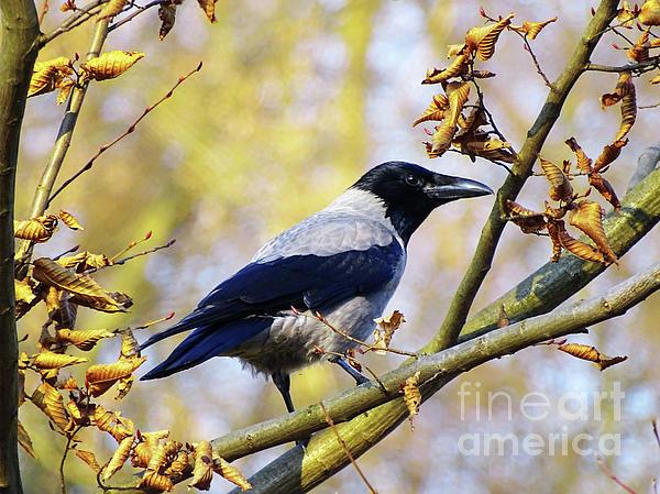 Jasna Dragun - Crow