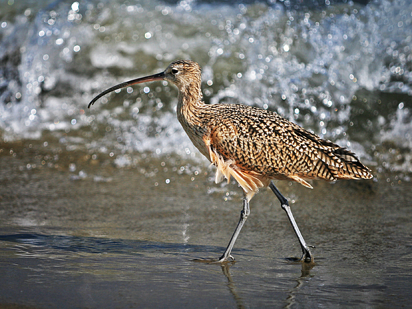 Curlew And Tides Photograph