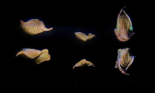 Karen Silvestri - Cuttlefish Refelction