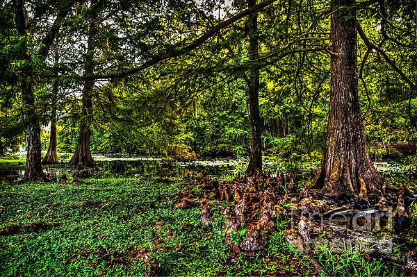 DeWayne Beard - Cypress Swamp