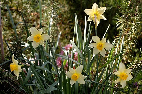 Guido Strambio - Daffodil brothers