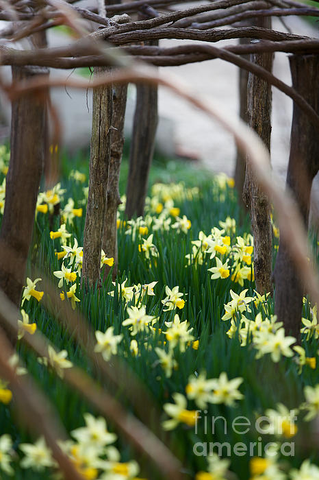 Rachel Morrison - Daffodil Flowerbed