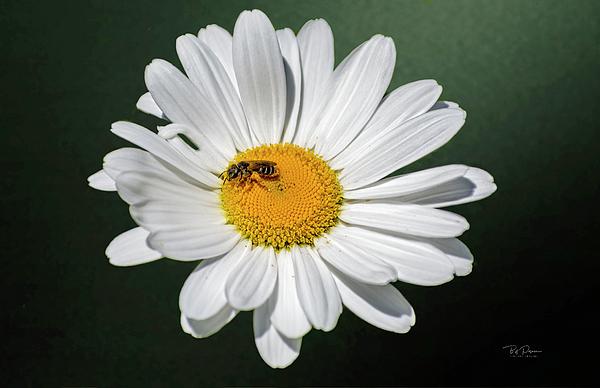 Bill Posner - Daisy Bee