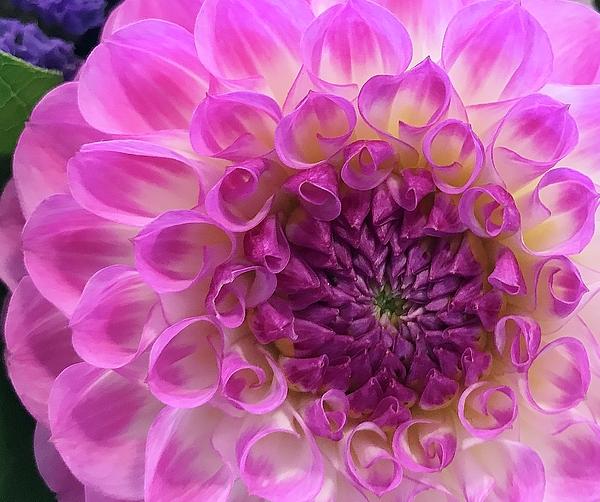 Bruce Bley - Dahlia Delight