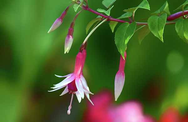 Maria Keady - Dancing Fuchsia