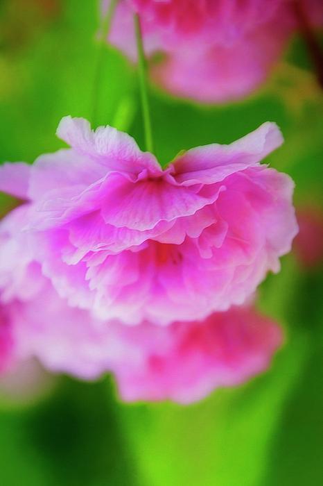 Terry Davis - Deep Pink Blossoms