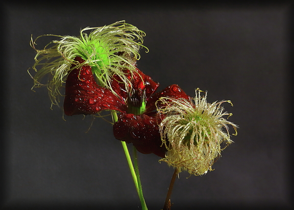 Jeff Townsend - Deep Red Clematis and Seed Head