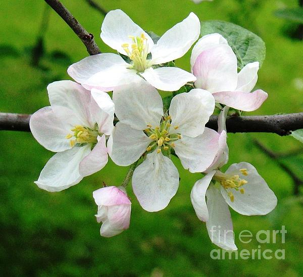 Hazel Holland - Delicate Apple Blossoms