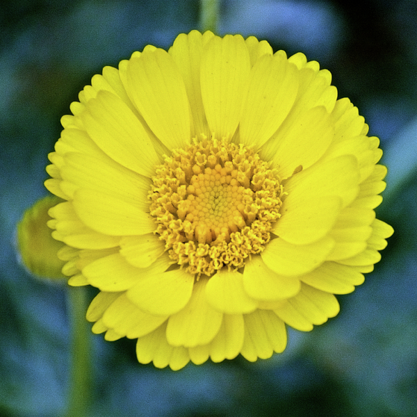 Ruth Hager - Desert Marigold in Rancho Santa Ana Botanic Garden in Claremont-California