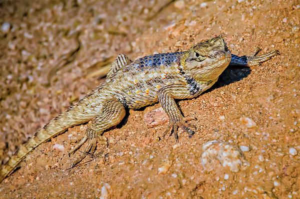 Desert Spiny Lizard H57 Photograph