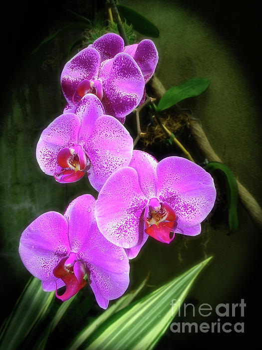 Sue Melvin - Dew-Kissed Moth Orchids