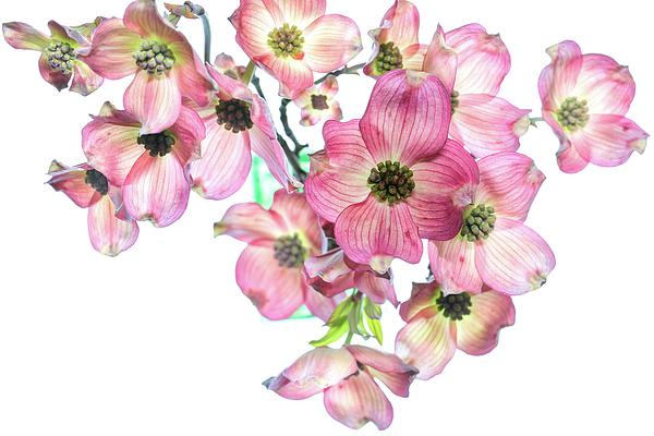 Lynne McClure - Dogwood Blossoms