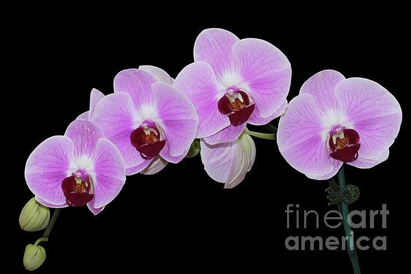 Judy Whitton - Doritaenopsis City Girl Orchids #3