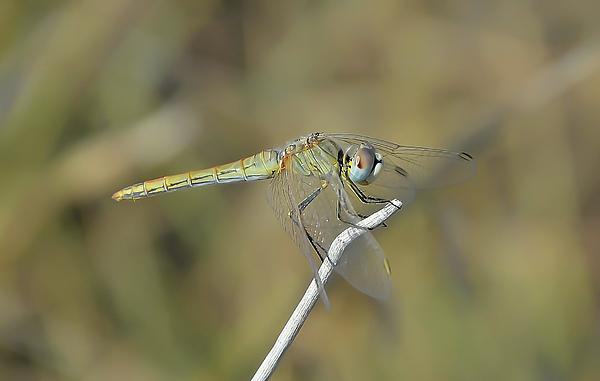 Michael Lazaridis - Dragonfly