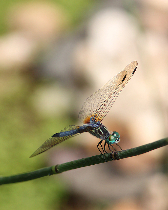Robert Sander - Dragonfly Ref.13