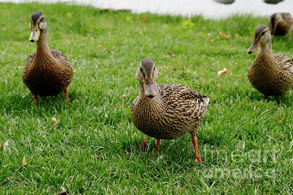 Rebecca Langen -  Ducks in a Row