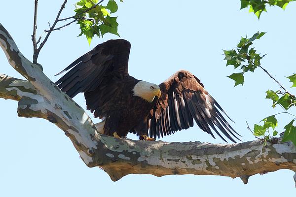 Susan Rissi Tregoning - Eagle Landing 2
