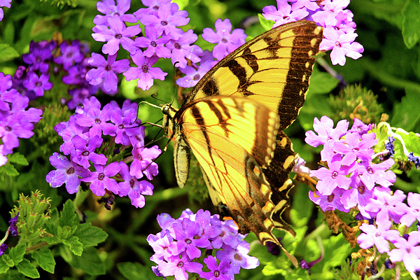 Geraldine Scull - Easter Yellow swallowtail butterfly