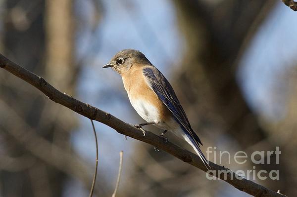 John Franke - Eastern Bluebird