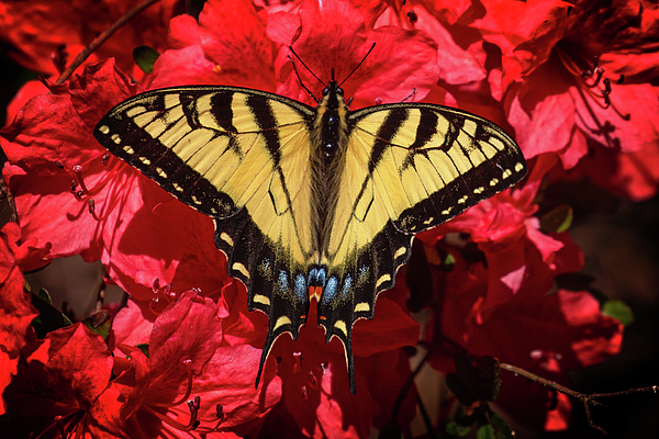 John Haldane - Eastern Tiger Swallowtail on Red Azaleas