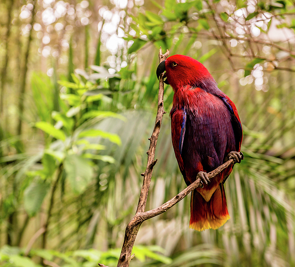 Cynthia Wolfe - Eclectus At The Zoo