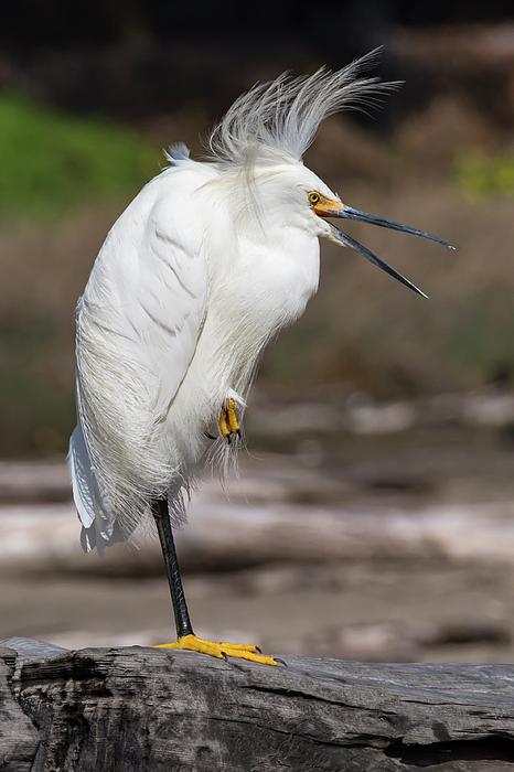 Bruce Frye - Egret in the Breeze