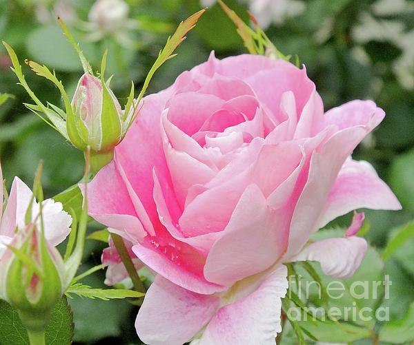 Cindy Treger - Elegant in Pink - Rose