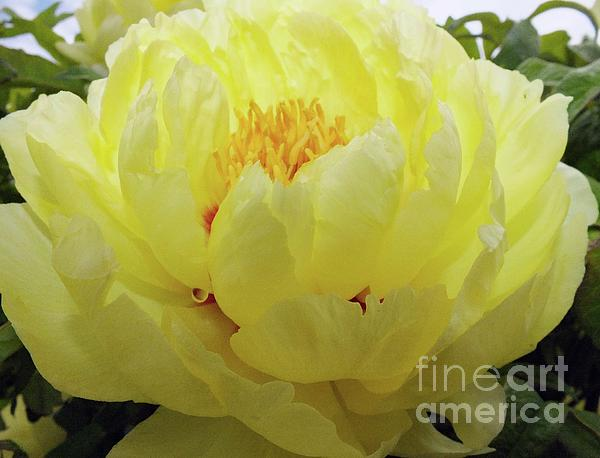 Cindy Treger - Elegant Layers Of Yellow - Japanese Tree Peony