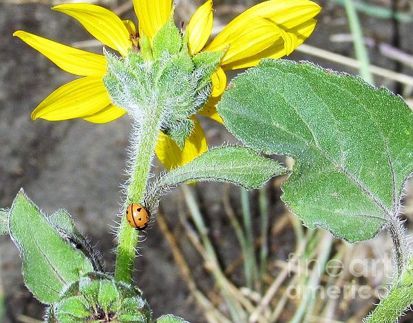 Tammie Sisneros - Elytra Wings on a Sunflower Daisy